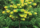 Redbud 'The Rising Sun' Cercis canadensis 'The Rising Sun'