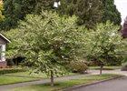 Japanese Silverbells Styrax japonica