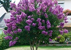 Crape Myrtle Twilight Lagerstroemia indica x fauriei 'Twilight'