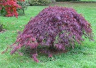 Maple - Japanese Crimson Queen Acer palmatum var. dissectum 'Crimson Queen'