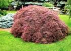 Maple - Japanese Tamukeyama Acer palmatum var. dissectum 'Tamukeyama'