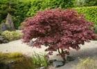 Maple Japanese Bloodgood Acer palmatum var. atropurpureum 'Bloodgood'