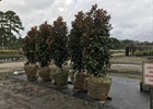 Magnolia Bracken's Brown Beauty Magnolia grandiflora 'Bracken's Brown Beauty'
