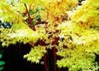 Maple - Japanese Coral Bark Acer palmatum var. dissectum 'Sangu Kaku'