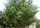 Elm - Lace Bark Ulmus parvifolia