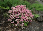 Azalea Gumpo Pink Rhododendron 'Gumpo Pink'
