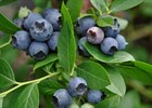 Blueberry Ira Vaccinium ashei