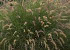 Karley Rose Fountain Grass PP#12909 Pennisetum orientale Karley Rose PP#12909