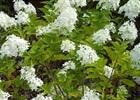 Hydrangea - 'Lime Light' PP# 12,874 Hydrangea paniculata 'Lime Light' PP# 12,874