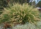 Lomandra 'Katrinus Deluxe tm' PP#19,262 Lomandra longifolia 'Katrinus Deluxe tm' PP#19,262