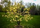 Magnolia 'Butterflies' M. acuminata x M. denudata 'Butterflies'