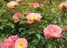 Rose Drift Peach PP#18542 Rosa 'Meiggili' PP#18542 - Peach Drift