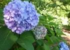 Hydrangea Penny Mac Hydrangea macrophylla 'Penny Mac'