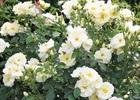 Rose Drift popcorn PPAF #24,773  Rosa 'Novarospop' Popcorn Plant Patent #24,773