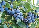 Blueberry Powder Blue Vaccinium ashei 'Powder Blue'