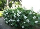 Hydrangea Oak Leaf Hydrangea quercifolia
