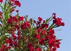 Oleander Red Nerium oleander 'Red'