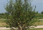 River Birch Dura Heat Betula nigra 'BNMTF' (Dura Heat)