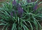 Liriope - Royal Purple Liriope muscari 'Royal Purple'