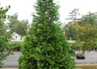 Arborvitae Green Giant Thuja plicata 'Green Giant'