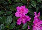 Azalea Encore Assorted Rhododendron x Encore