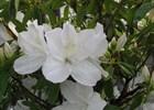 Azalea G. G. Gerbing Rhododendron 'G G Gerbing'