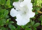Azalea Gumpo White Rhododendron 'Gumpo White'