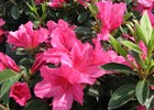 Azalea Judge Solomon Rhododendron 'Judge Solomon'