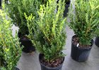 Boxwood Wintergreen Buxus microphylla 'Wintergreen'