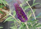 Butterfly Bush Black Knight Buddleia davidii 'Black Knight'