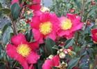 Camellia sasanqua assorted Camellia sasanqua