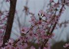 Cherry Okame Prunus x 'Okame'