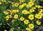 Coreopsis 'Baby Sun' Coreopsis grandiflora 'Baby Sun'