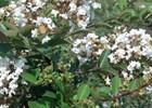 Crape Myrtle Acoma Lagerstroemia indica x fauriei 'Acoma'