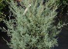 Cypress Carolina Sapphire Cupressus arizonica 'Carolina Sapphire'