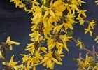 Forsythia Intermedia Forsythia x intermedia