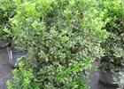 Holly Burford Dwarf Ilex cornuta 'Burfordii Nana'