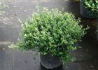 Holly Soft Touch Ilex crenata 'Soft Touch'
