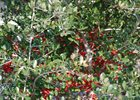 Holly Yaupon Ilex vomitoria
