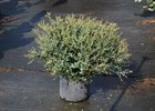 Dwarf Yaupon Holly Ilex vomitoria 'Shillings'