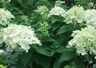 Hydrangea - Little Lime USPP 22,330 Hydrangea paniculata 'Little Lime' PP#22,330