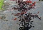 Maple - Japanese Fireglow Acer palmatum 'Fireglow'