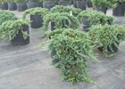 Juniper Blue Rug Juniperus horizontalis 'Wiltoni'