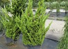 Hollywood Juniper Juniperus chinensis 'Kaizuka' (Torulosa)