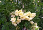 Rose Lady Banksia Yellow Rosa banksia 'Lutea'
