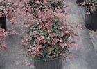 Loropetalum Ruby Loropetalum chinense var. rubrum 'Ruby'