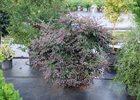 Loropetalum Zhuzhou Loropetalum chinense var. rubrum 'Zhuzhou'