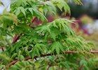 Maple Japanese Coral Bark Acer Palmatum 'Sango-kaku'