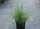 Miscanthus Adagio Miscanthus sinensis 'Adagio'