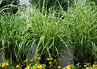 Miscanthus Porcupine Grass Miscanthus sinensis 'Strictus'